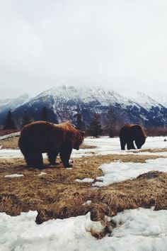 [Nostalgic - Montana - Bears - Mountain - Snow - Photograph]
