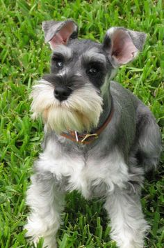 Schnauzers have such cute ears don't they? this looks like our Ranger!