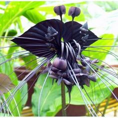 HOT SALE 100pcs/bag Black Tiger Orchid Flowers Seeds Rare Flower Orchid Seeds For Garden & Home Plants Bonsai