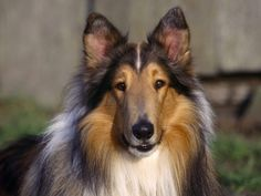Collie dog posted via dog-photos.net. Although a large, active dog, the Collie is both elegant and graceful, appearing to float over the ground as it runs. Loyal and affectionate, the breed is naturally responsive to humans. Marked characteristics include a beautiful coat of the rough variety and the breed's lean wedge-shaped head. The coat can be rough or smooth and the four accepted colors are sable and white, tri-color, blue merle and white.