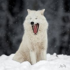#Wolf #wolves