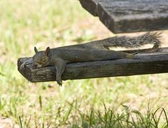 A sleeping squirrel stretches out on a bench in Florida, the United States. Photo by Joanne Williams