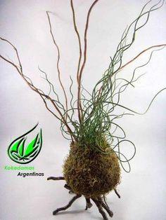 kokedama de juncus, plantas en musgo y kokedamas argentinas