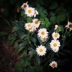 #papatya #cicek #flowers