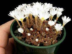 B - Conophytum pellucidum neohallii Silverfontein