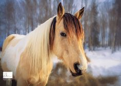 Target, the painted Buckskin by Debby Armstrong Herold on 500px