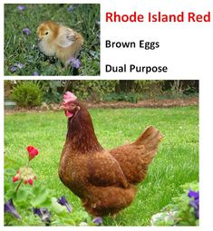 """<3 My father bred these Rhode Island Red while I was growing up and started me on my path and love of """"chooks"""" as he called them here in NZ."""