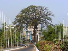 The Cotton Tree is an historic symbol of Freetown, the capital city of Sierra Leone. According to legend, the Cotton Tree became an important symbol in 1792 when a group of former African American slaves, who had gained their freedom by fighting for the British during the American War of Independence, settled the site of modern Freetown.