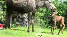 Twin baby moose in sprinkler, via YouTube. So cute!!!!