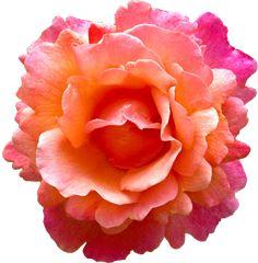 transparent-flowers: Easy Does It Hybrid Tea Rosa.