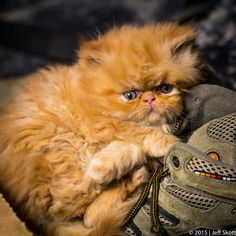 My Shoe - Tubbs the Persian Ki…  by  Jeff Skott ... - Magical Meow