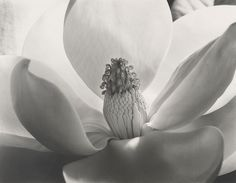 Magnolia Blossom, 1925, by Imogen Cunningham
