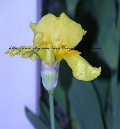 Yellow Iris  8 x 10 Photgraph  garden by EverythingPrecious, $25.99