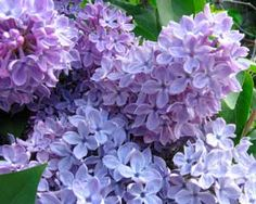 """Lilacs....my favorite flower.  I love the scent....and the color.  We had a """"tree"""" in the front yard.  It always bloomed just before school got out in May.  Our teachers always got at least one bouquet."""