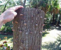 A log with Reishi inoculated hardwood plugs.