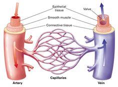 veins+capillaries+arteries   ... arteries to capillaries then back through veins most capillary walls