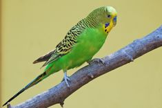 parakeet- we had a parakeet named Toby growing up