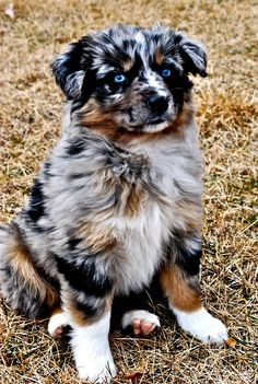 Australian Shepherd. Those EYES! I need a dog for when I get married and my husband goes off to work and I'm alone he want scare off a burglar but he will keep me company