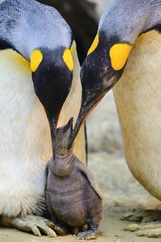 ^King Penguin Chick and parents
