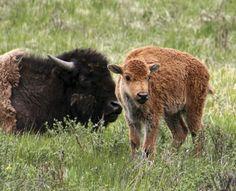 Wildlife Highlights of Yellowstone National Park