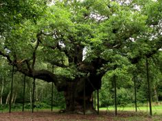 The 1000-year-old Major Oak (Quercus robur) in Sherwood Forest. Legend has it Robin Hood met with his merry men here at this oak, Nottinghamshire, England.