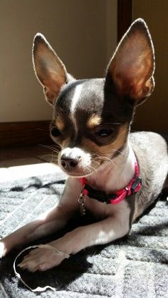 Beautiful chihuahua puppy ♡ ♥ Yuppypup.co.uk provides the fashion conscious with stylish clothes for their dogs. Luxury dog clothes and latest season trends, Dog Carriers and Doggy Bling. Next Day Delivery. Please go to http://www.yuppypup.co.uk/