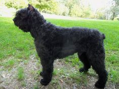 Bouvier Des Flanders. This looks like my Rhett who grew to 135 pounds and all of that was personality!