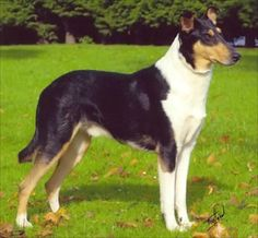 The early history of the Smooth Collie, like that of many dog breeds, is largely a matter of speculation. Description from houndseyes.blogspot.com. I searched for this on bing.com/images