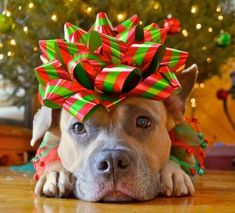 The Lazy Pit Bull is giving away TWO $100 Amazon gift cards! Stop by today and enter to win! - http://www.thelazypitbull.com/2012/12/ho-ho-ho-and-amazon-giveaway.html #DogChristmas