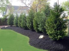 Fascinating Backyard Privacy Trees 118 Backyard Privacy Trees Florida Leyland Cypress X Cupressocyparis Privacy Fence Landscaping, Small Backyard Landscaping, Landscaping Tips, Privacy Fences, Landscaping Software, Privacy Hedge, Inexpensive Landscaping, Backyard Ideas, Backyard Privacy Trees