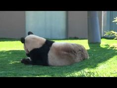 awww... panda baby and mommy playing.. pushing,  rolling,  nibbling