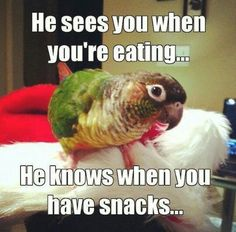 "My parrot has told on me many, many times by making his ""begging for food"" noise when I was trying to sneak a snack. >> Our conure bobs his head when he sees my husband or me with food. Funny Birds, Cute Birds, Pretty Birds, Beautiful Birds, Funny Animals, Cute Animals, Crazy Animals, Parrot Toys, Parrot Bird"