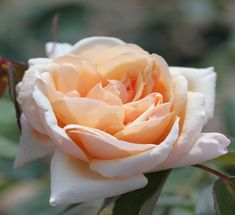 Bouquet d'Or (Palatine Roses)