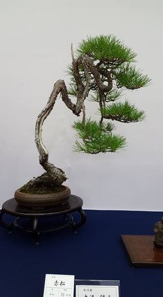Pine tree bonsai