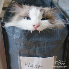 "From @chsh0501: ""Aslan: I'm a plastic doll, not a rag doll!! (He gets inside the recycling bin for plastic♻️ of his own free will…)"""