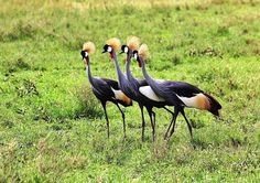 Crowned cranes on Fairbairn Guest Farm in the Eastern Cape.