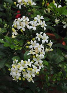 Little Orange Jasmine – Petals and Wings Exotic Flowers, White Flowers, Beautiful Flowers, Flowering Plants In India, My Flower, Flower Power, Murraya Paniculata, Hampton Garden, Bouquets