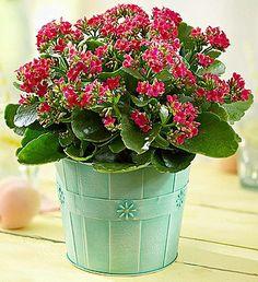 Enviar plantas en Argentina, una muy buena opción son la Kalanchoe.- SuFloreria.com enviar flores plantas en cualquier parte de Argentina.