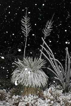 Even though the snowfall was relatively light, the snow was wet and very sticky, and it heavily frosted our desert plants with white. The clump of Soaptree Yuccas (Yucca elata) above looks a bit like a shaggy, white head with two antennae (dead flower stalks). To the right is an Ocotillo (Fouquieria splendens). CLick on photo to go to source.
