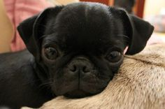 More pugs as promised, will update in the future. - Imgur