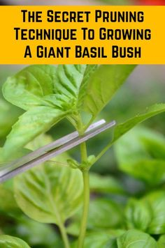 Here's how to turn your skinny little basil plant into a thriving bush so you can make all the pesto you ever dreamed of. Here's how to turn your skinny little basil plant into a thriving bush so you can make all the pesto you ever dreamed of. Veg Garden, Edible Garden, Veggie Gardens, Herb Garden Design, Small Herb Gardens, Container Herb Garden, Raised Vegetable Gardens, Container Gardening Vegetables, Edible Plants