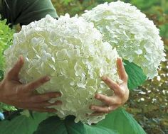 Incrediball Hydrangea On Sale At Spring Hill Nursery, Diy Abschnitt, Incrediball Hydrangea, Hortensia Hydrangea, Hydrangea Flower, Hydrangea Seeds, Strawberry Hydrangea, White Hydrangeas, Hydrangea Shrub, White Flowers, White Hydrangea Garden