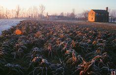 Campo di Radicchio Rosso di Treviso durante la stagione invernale