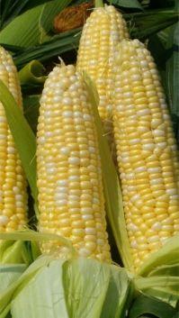 Fresh Corn on the Cob, 20TH ANNUAL CAMP VERDE CORN FESTIVAL