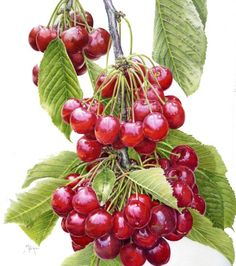 "Karen Kluglein Botanical | Janie Pirie ""Cascading Cherries"" Illustration"