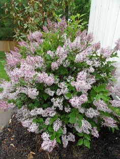 Miss Kim Lilac Bush | Posted 17th May 2011 by Bev #LandscapingShrubs
