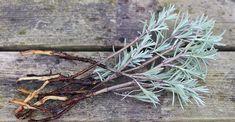 DIY lav lavendel stiklinger og få nye gratis planter