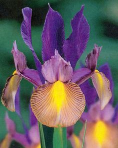 iris | iris-hollandica-festa