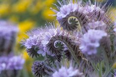 Phacelia (phacelia, scorpionweed, heliotrope) is a genus of about 200 species of annual or perennial herbaceous plants, native to North and South America.