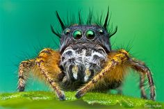 Jumping spider. Photo by Colin Hutton. 2012 National Wildlife Photo Contest winner.